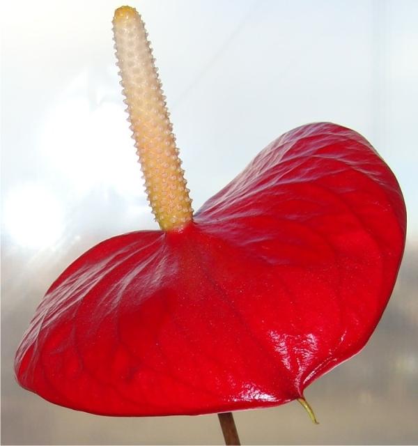 Калла с красным цветком