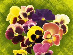 Виола. Цифровая живопись, рисунок (мышь, фотошоп)