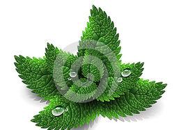 Иллюстрация, листья мяты в Adobe illustrator.