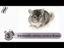 Видео для Chinchilla Real Fur
