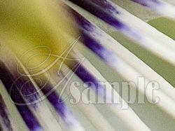 Цветок пассифлоры - 100%