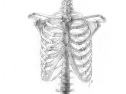 Рисунок скелета в натуральную величину (карандаш)