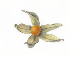 Ботаническая иллюстрация, Физалис. Акварель