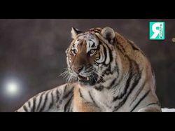Тигры параллакс