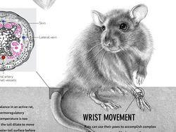 Инфографика о Rattus Nogvegicus
