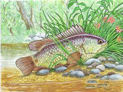 Рыбка-анабас
