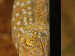 Весёлый геккон