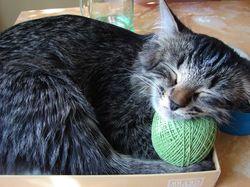 Кошка соня