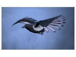 Magpie(Сорока) fly